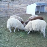 naturally colored sheep ready for shearing