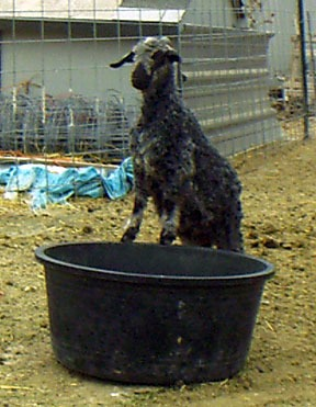 Natural colored Angora goat playing