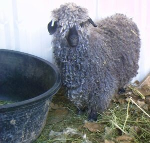 Angora with feed bin