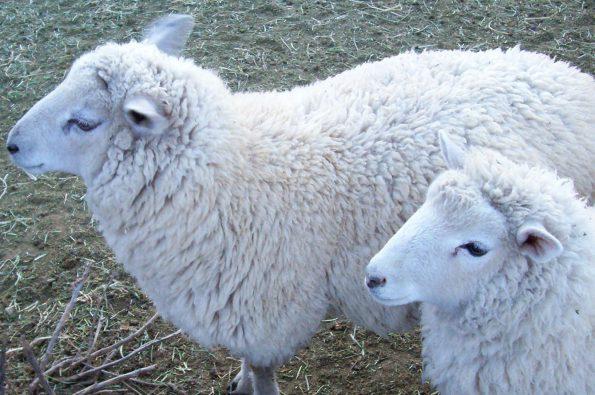 sheep Border Cheviot Corriedale crosses