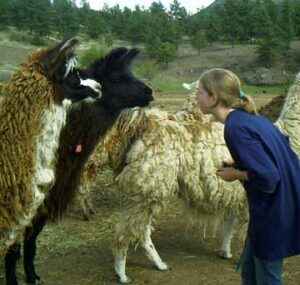 Girl meets Llamas