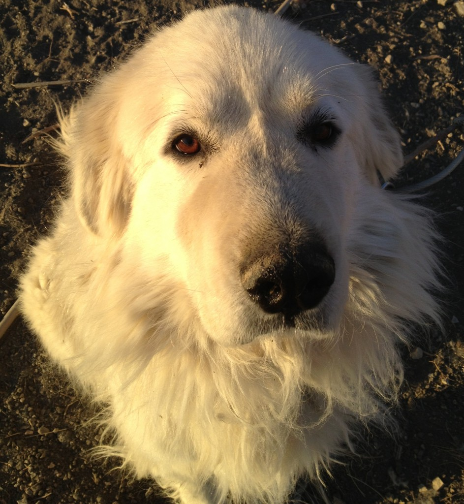 Great Pyrenees livestock guardian dog on slowyarn.com