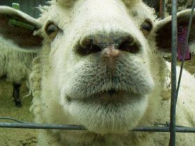 sheep nose over fence slowyarn.com blog