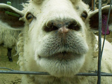 sheep nose over fence slowyarn.com blog