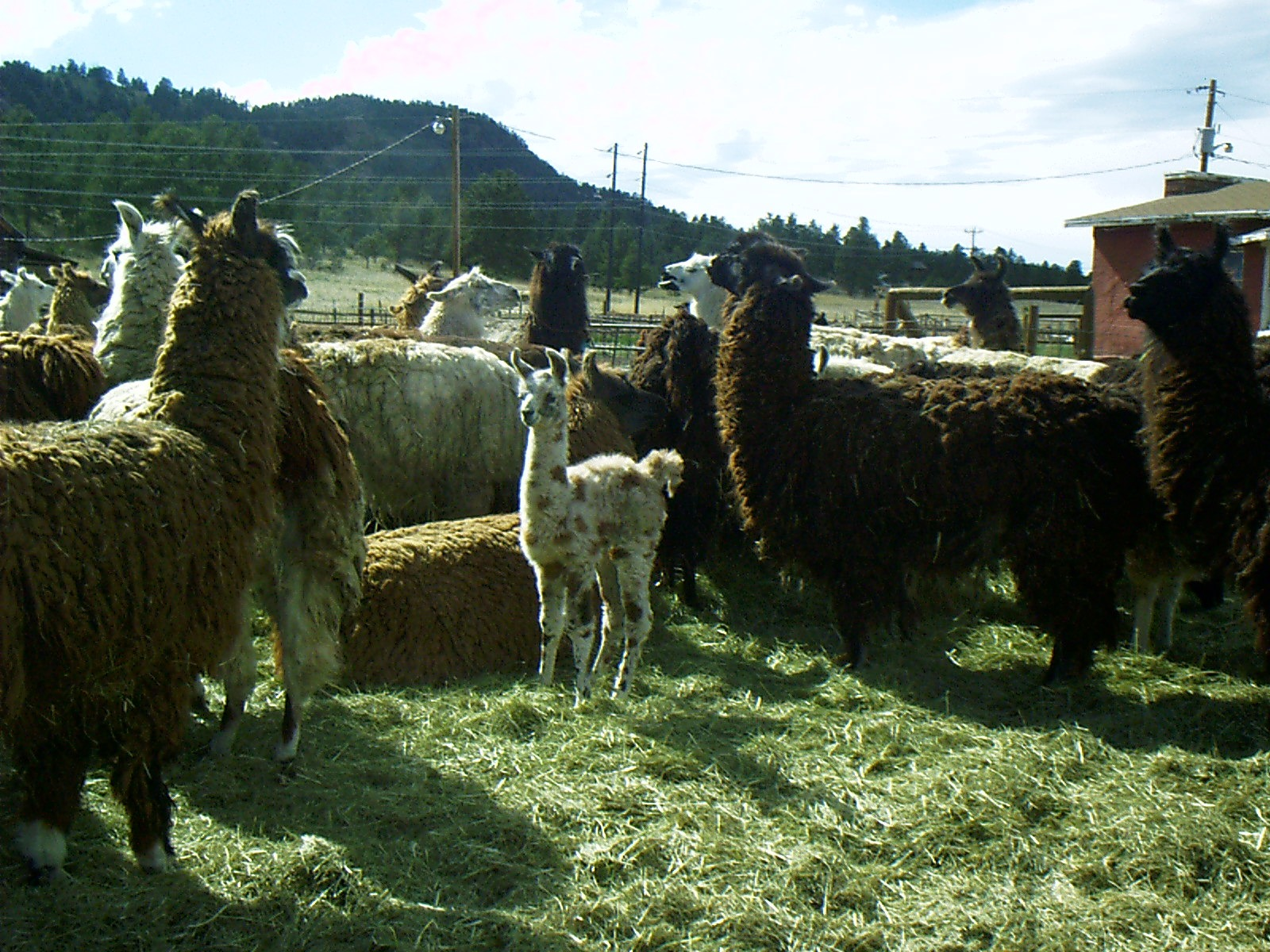 wool llamas in Colorado