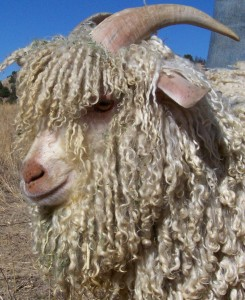 profile of angora goat