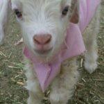 Angora goat kid wears her pink sweatshirt