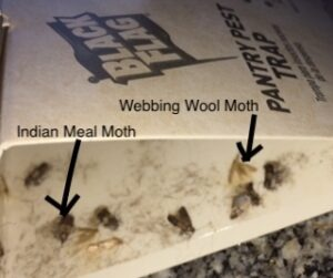 Black Flag Pantry Pest Trap also caught Webbing Wool Moths.